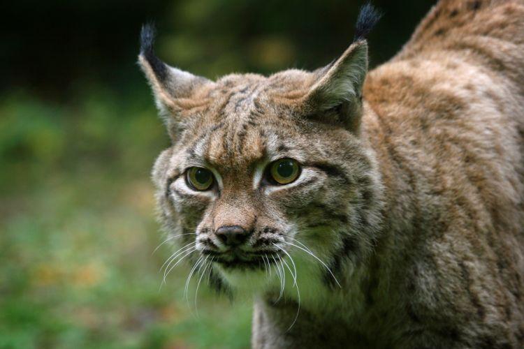 Big cats Lynx Glance Snout Animals wallpaper