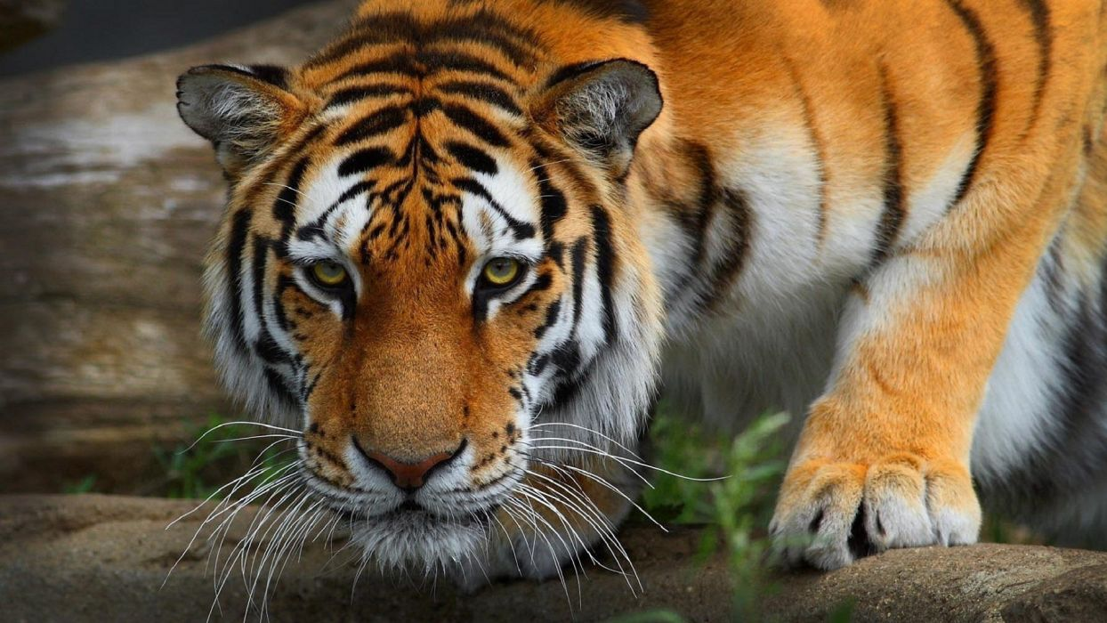 Big Cats Tigers Snout Glance Animals Tiger Wallpaper