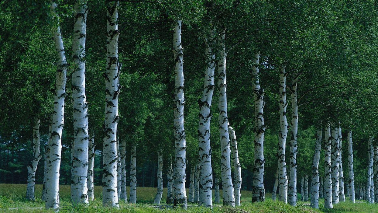 birch grove forest wallpaper