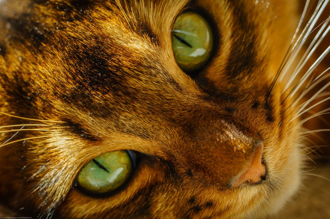 Cats Eyes Glance Snout Animals wallpaper