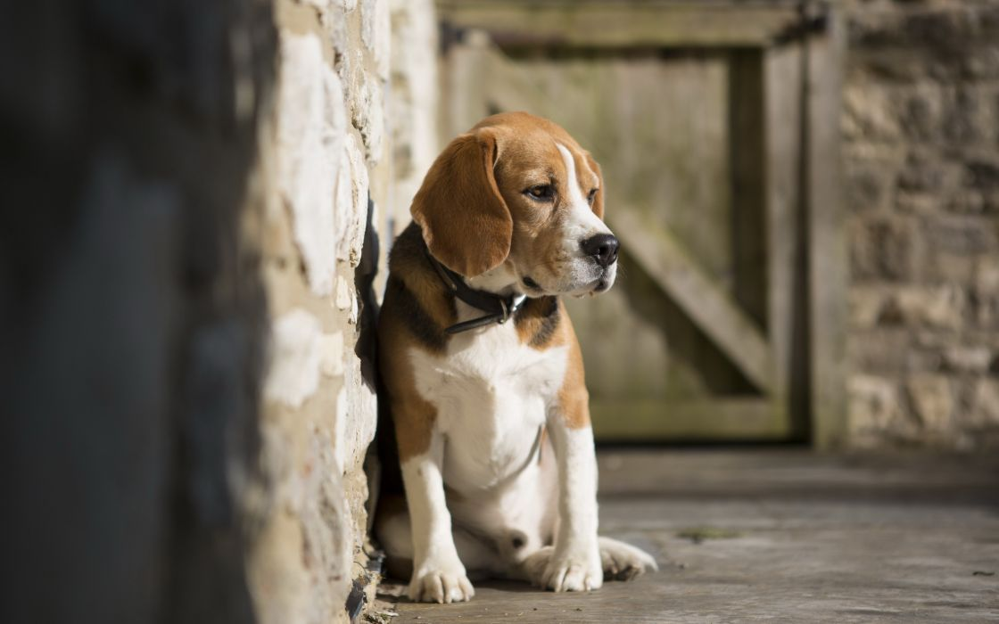 Dogs Beagle Animals wallpaper