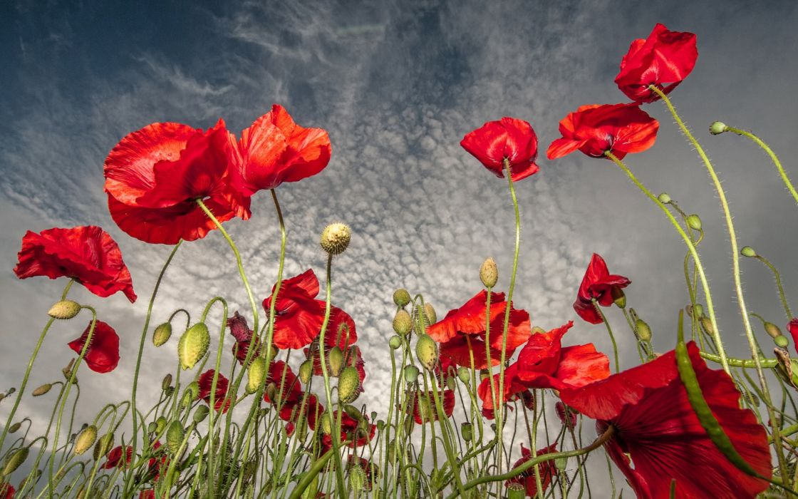 field flowers poppies red sky clouds wallpaper