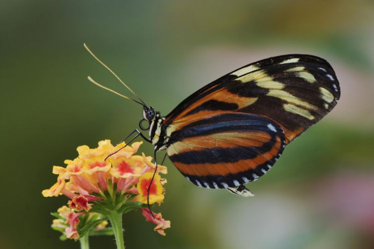Tiger Butterfly wallpaper