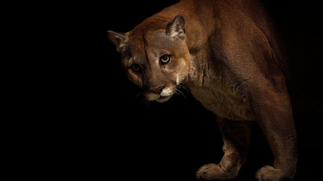 Big cats Pumas Animals cougar wallpaper