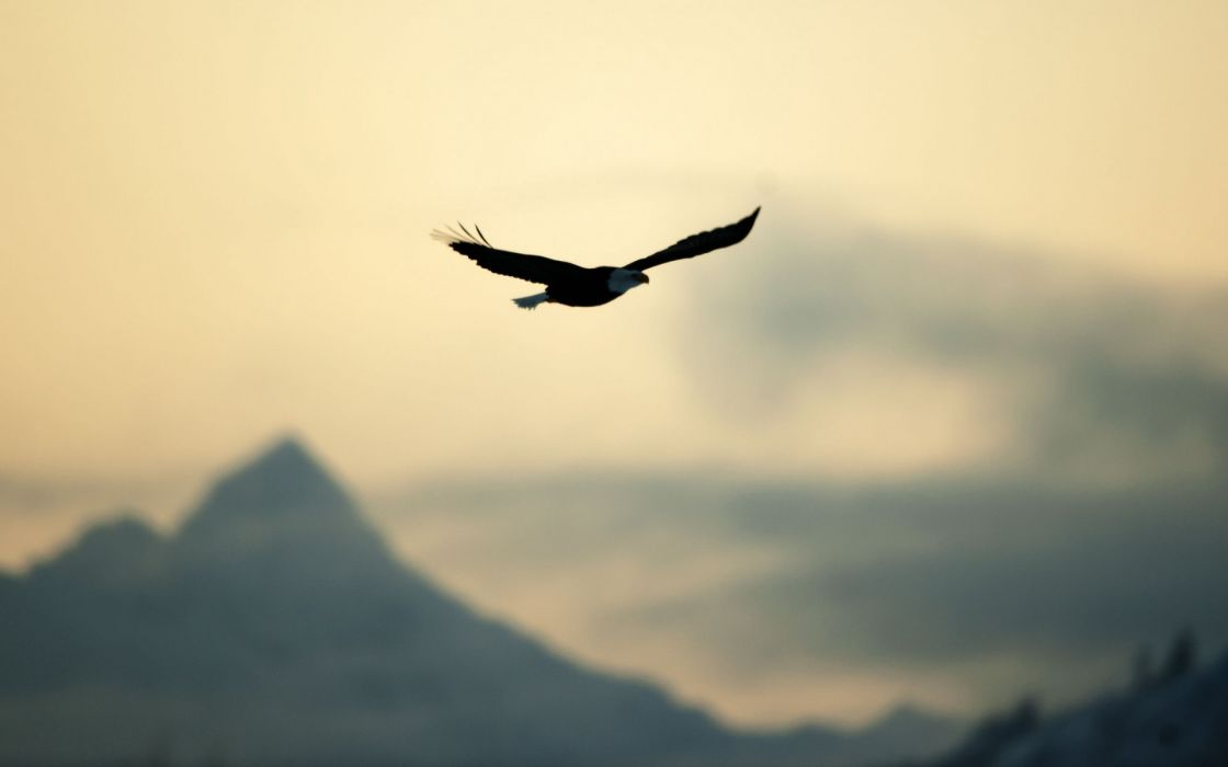 bird eagle flying freedom nature sky wallpaper