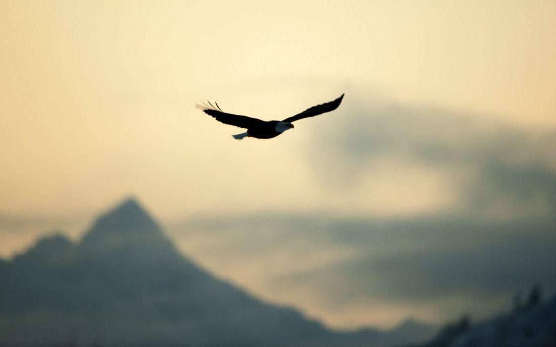 Bird Eagle Flying Freedom Nature Sky Wallpaper