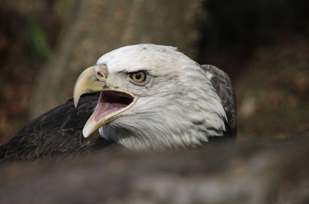Birds Eagles Head Beak Animal wallpaper