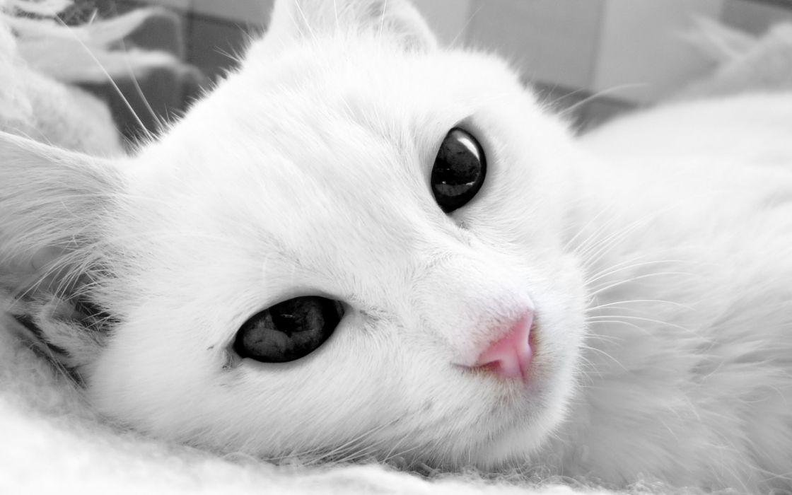 cat white face wallpaper