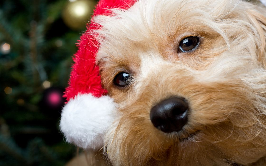 Dogs Christmas New year Snout Glance Animals wallpaper