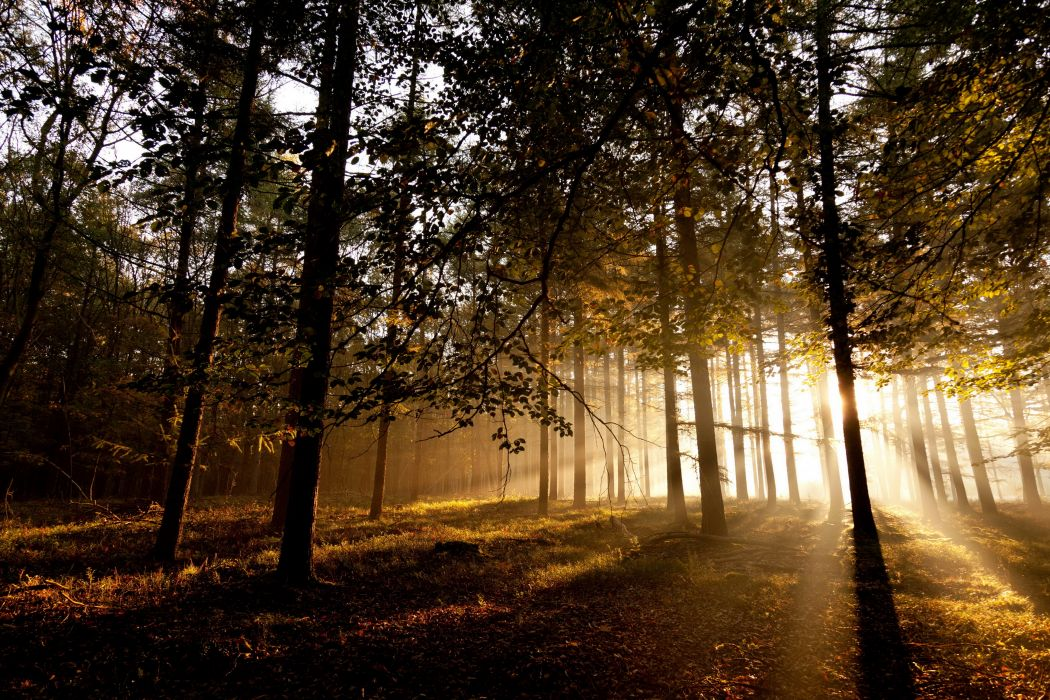 Forests Trees Rays sunlight wallpaper