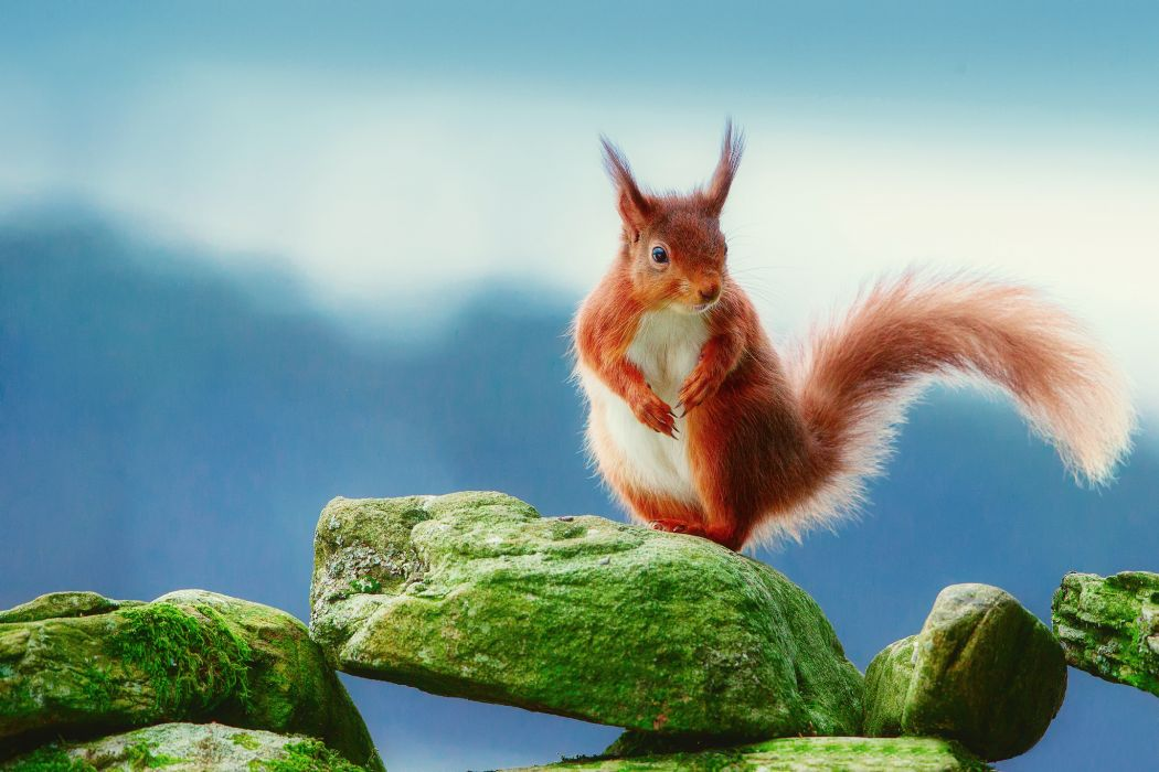 Rodents Squirrels Stones Ginger color Tail Moss Animals wallpaper
