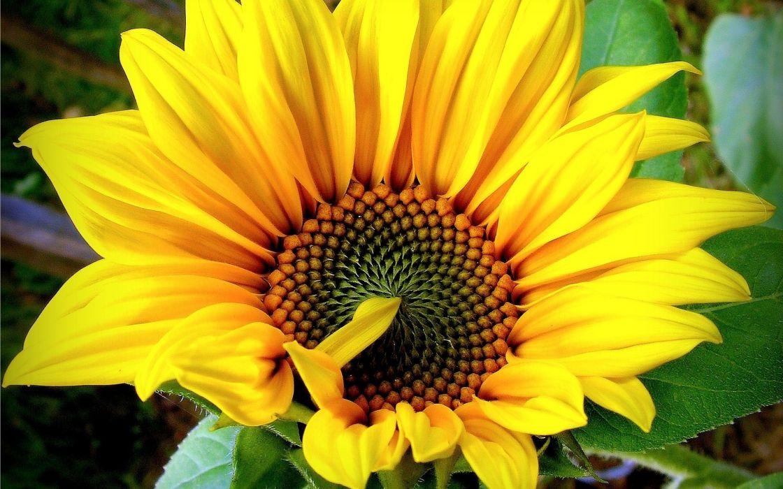 sunflowers sunflower flower leaves wallpaper