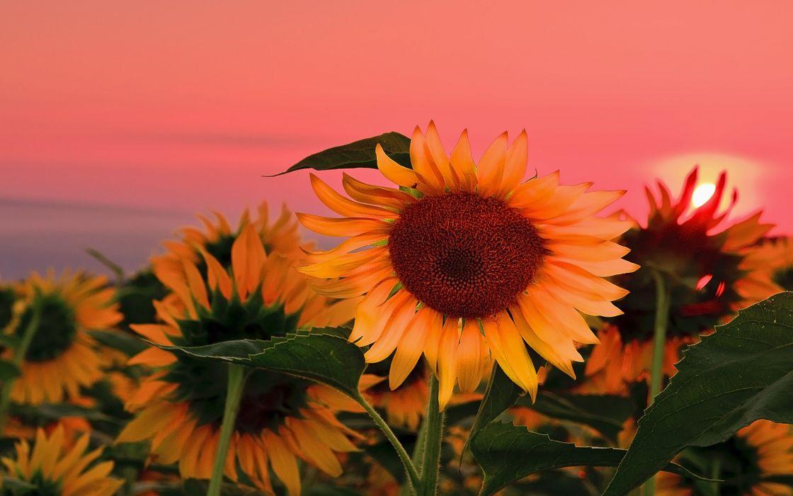 Field Sunflowers Sunset Wallpaper