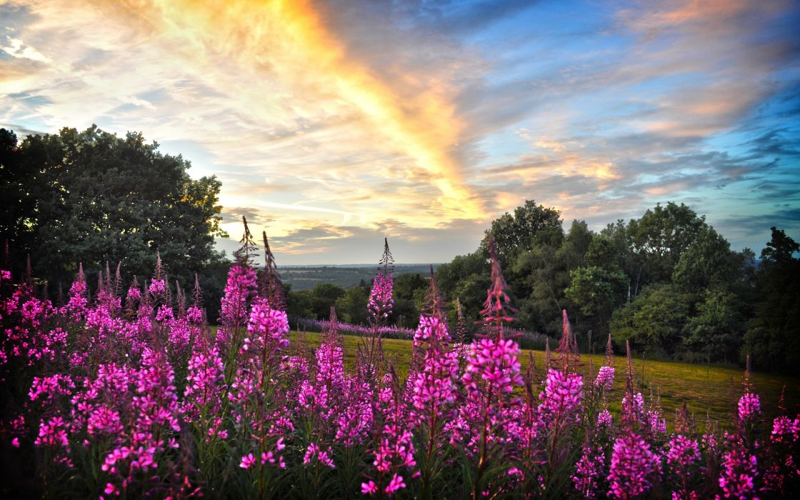 sunset field trees flowers willow tea wallpaper