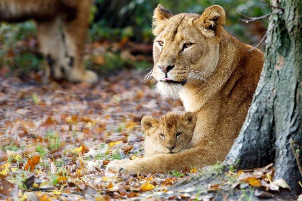 Lion wallpaper