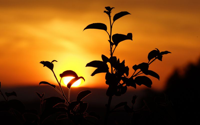 Plant Silhouette sunset mood wallpaper