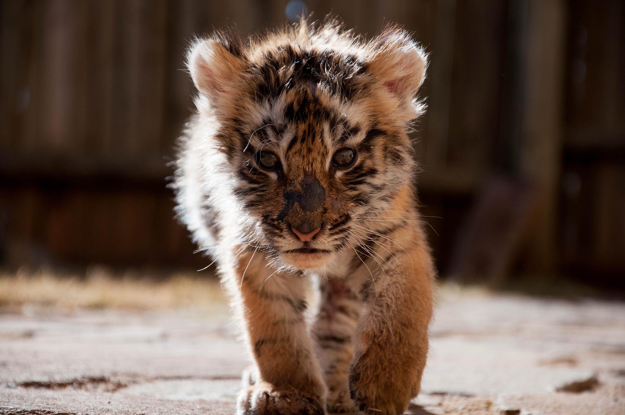 Baby siberian tiger wallpaper - photo#21
