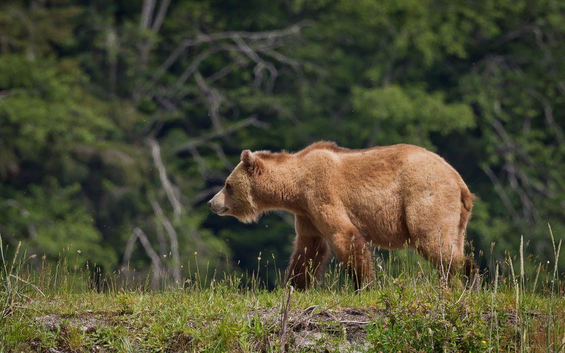 Bears Brown Grass Animals bear wallpaper