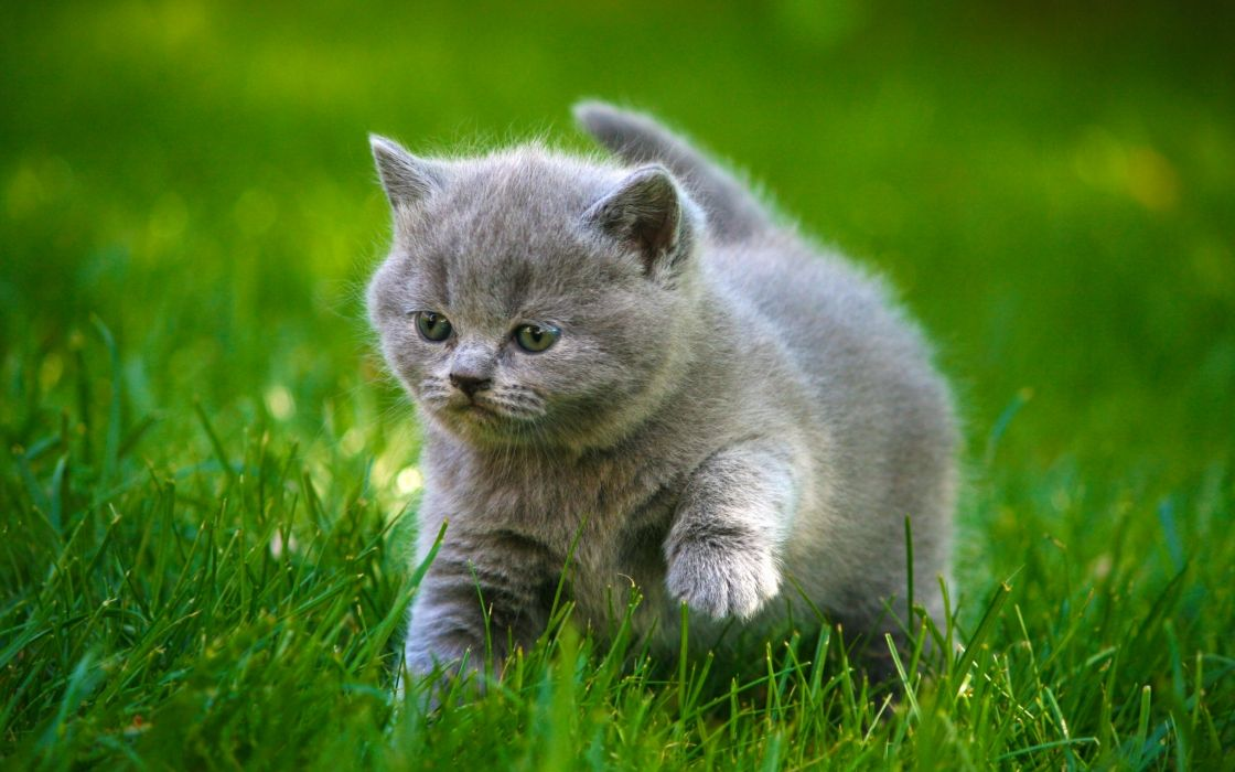 Cats Grey Kittens Fluffy Fat Grass Animals cat kitten baby cute wallpaper