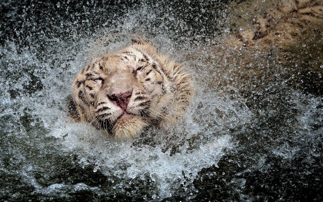 cats Tigers Water Drops Head Wet Animals tiger cat drops humor wallpaper