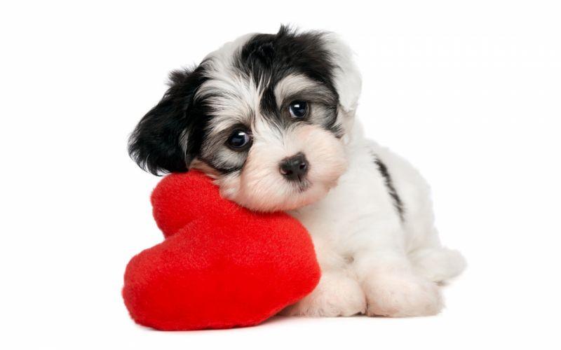 Dogs Glance Heart Puppy Animals puppys baby cute heart love mood bokeh wallpaper
