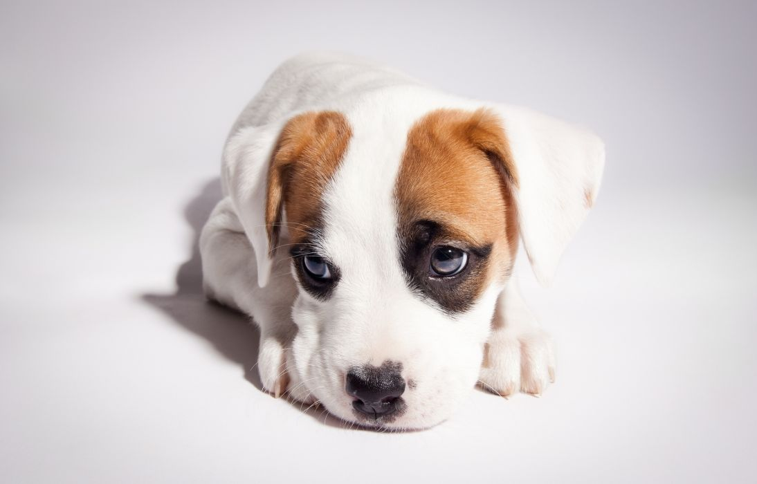 Dogs Puppy Glance Animals baby cute eyes mood wallpaper