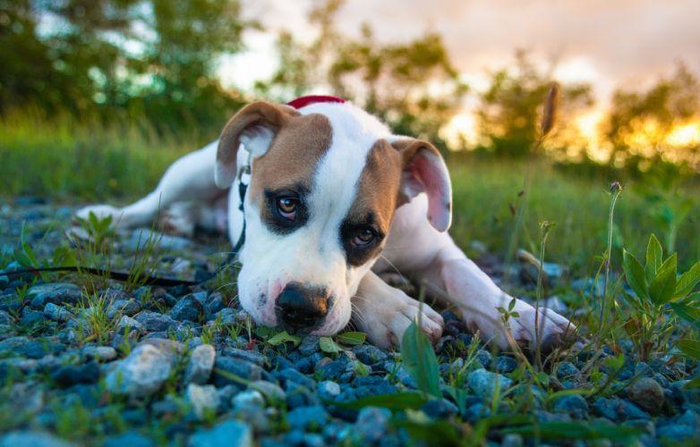 Dogs Stones Glance Puppy Amstaff Animals puppy dog cute eyes wallpaper