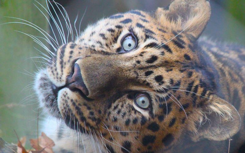 Leopards Glance Snout Animals leopard eyes cat cats wallpaper