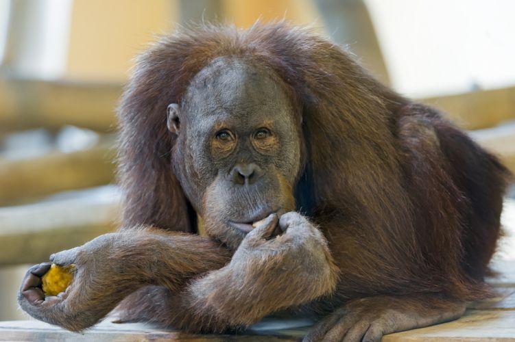 orangutan monkey monkeys primate wallpaper