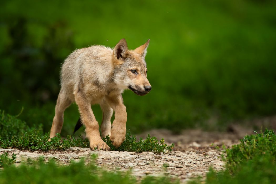 Wolves Animals wolf puppy baby cute wallpaper