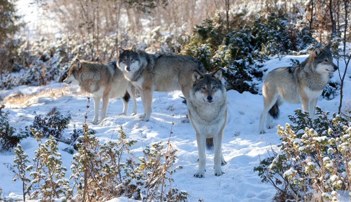 Wolves Snow Animals wolf snow wallpaper