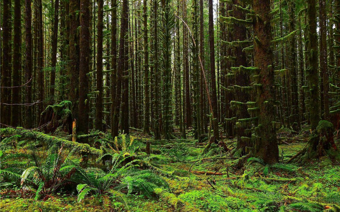 forest trees moss fern flora nature landscape wallpaper