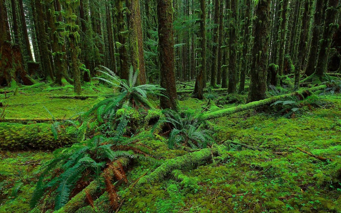 forest trees moss fern nature   y wallpaper