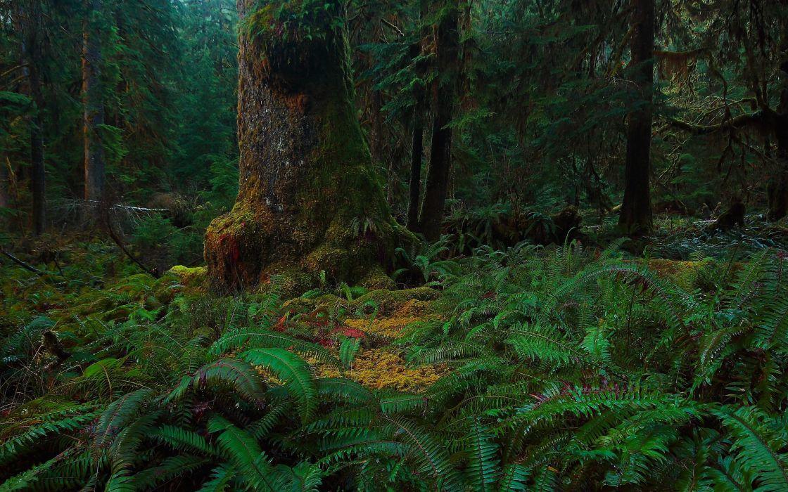 forest trees moss fern nature wallpaper