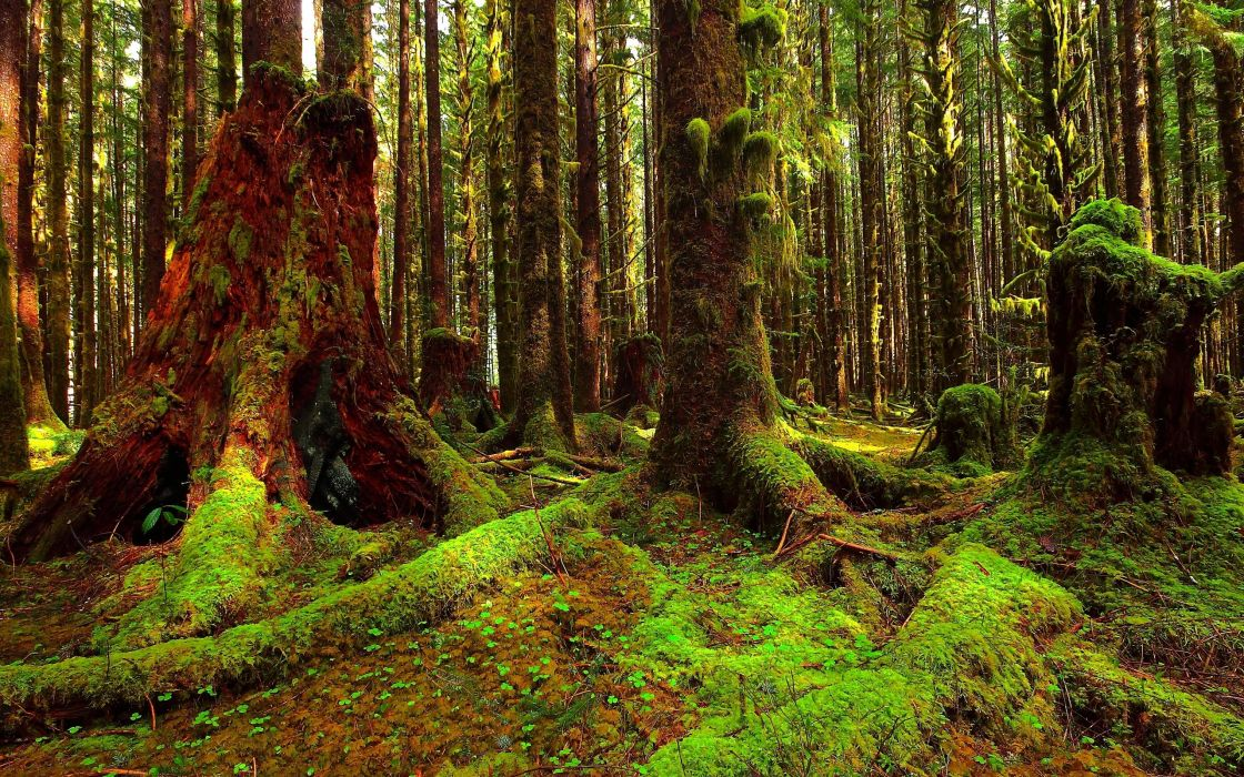 forest trees moss nature landscape wallpaper