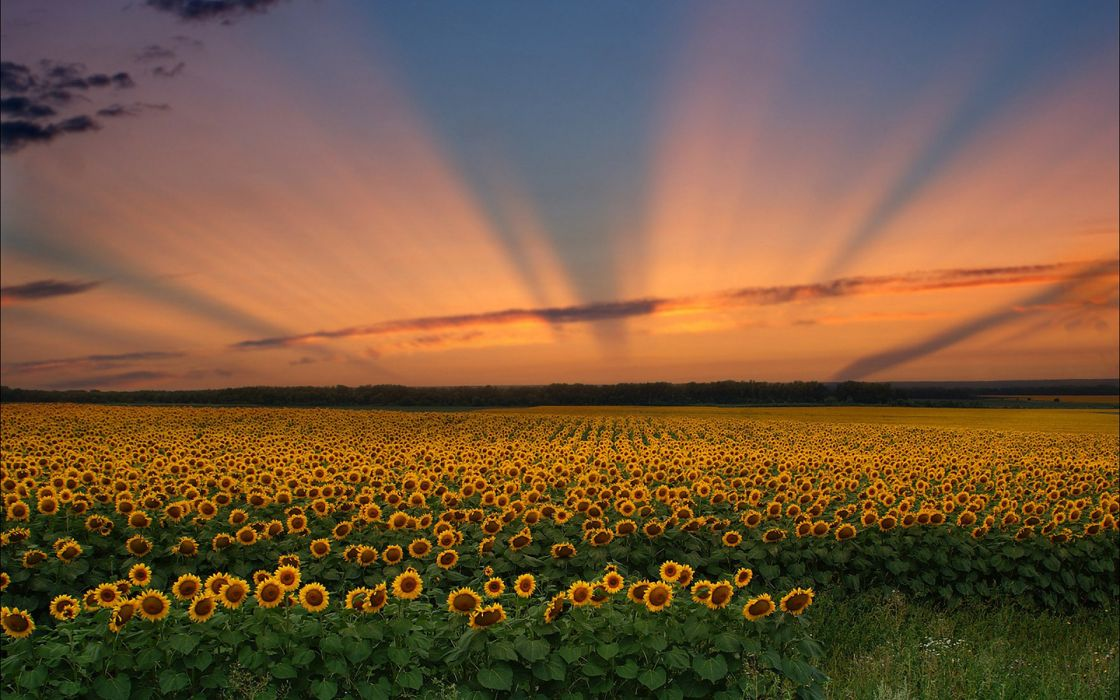 landscape sunset sunflowers sky rays wallpaper