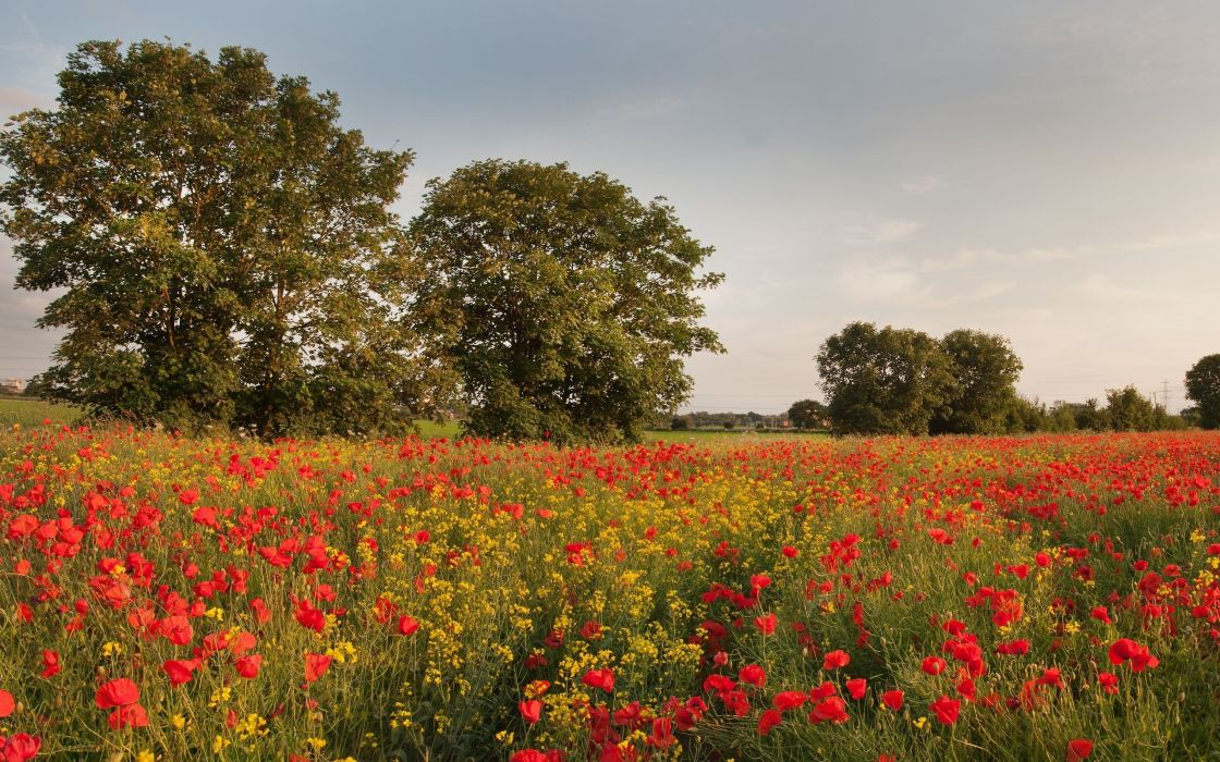 Yorkshire England flowers poppies wild cress trees meadow wallpaper