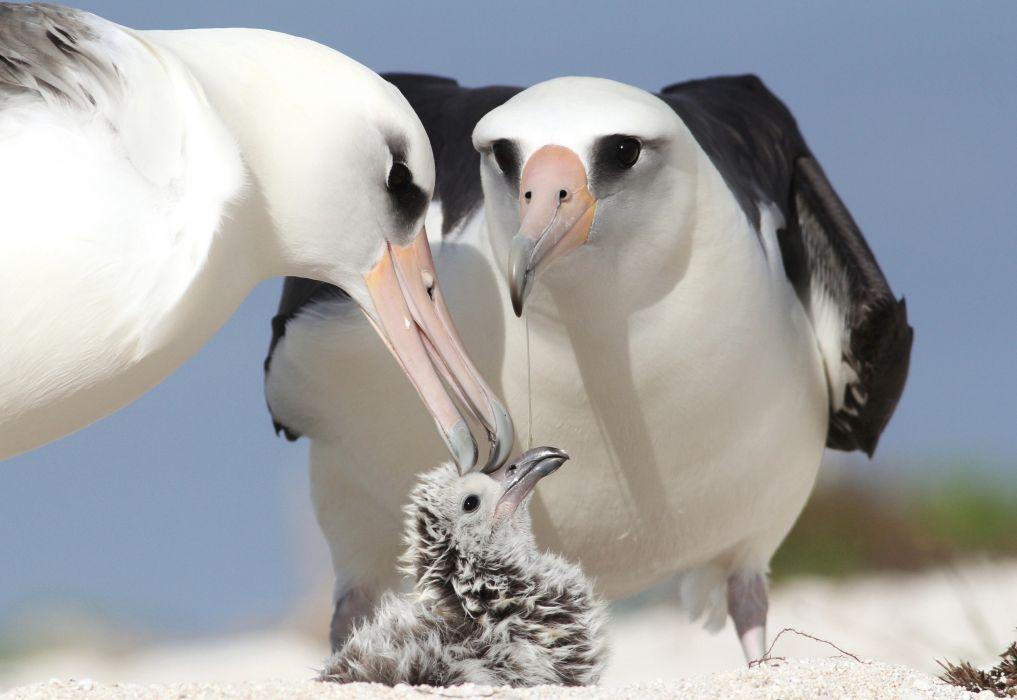 albatrosses chick parents birds wallpaper