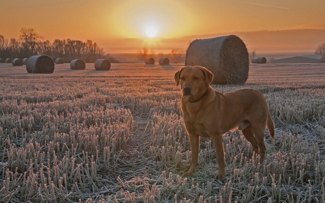 dog field sunset stubble frost wallpaper