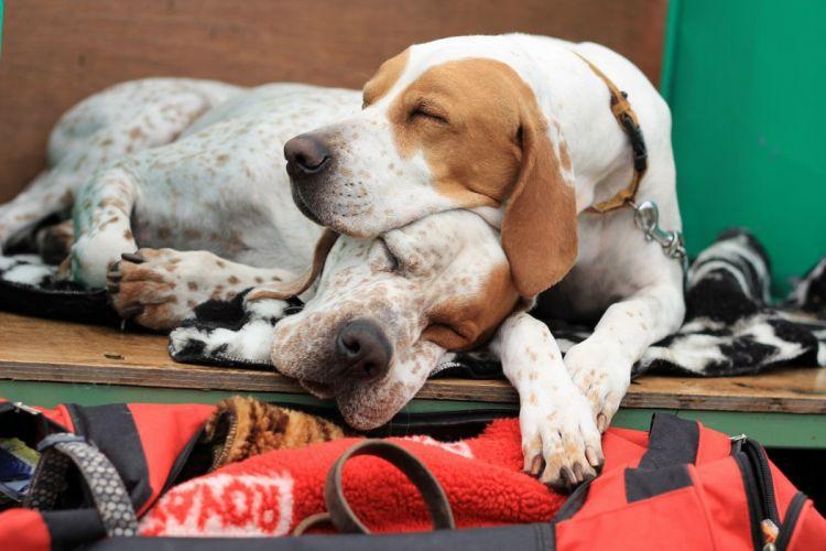dogs cops Pointer rest sleep wallpaper