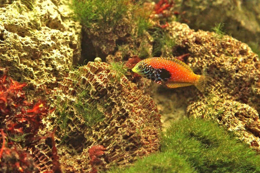 fish wrasse sea floor wallpaper