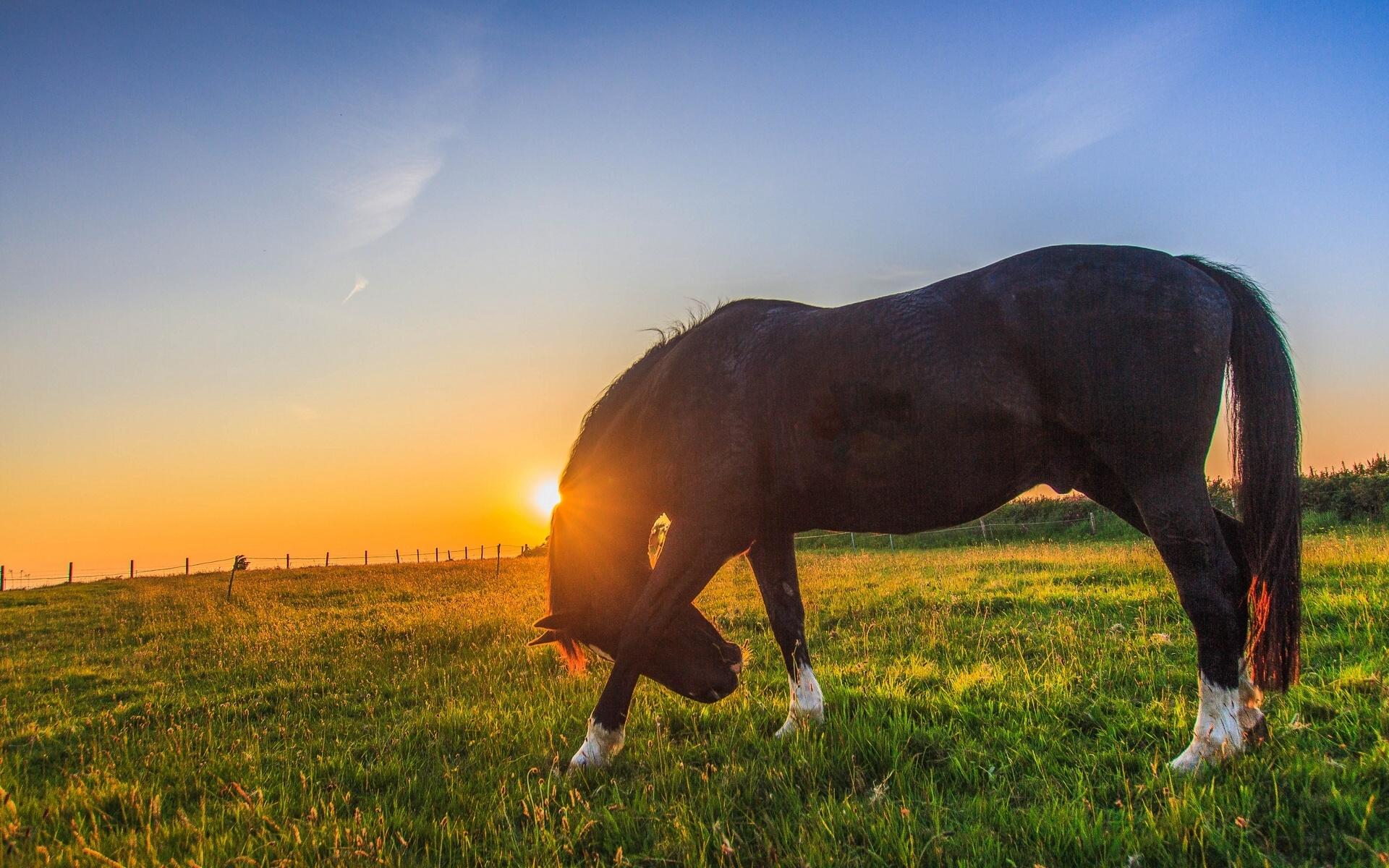лошадь, трава, закат  № 2631 без смс