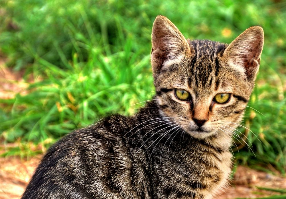 kitten cat cats wallpaper