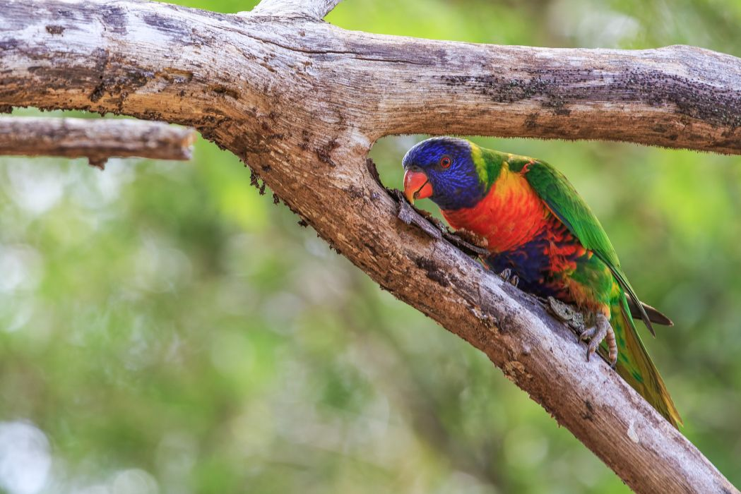 lorikeet parrot  k wallpaper