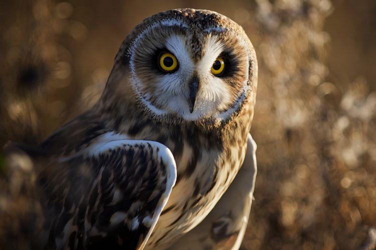 owl bird eyes wings wallpaper