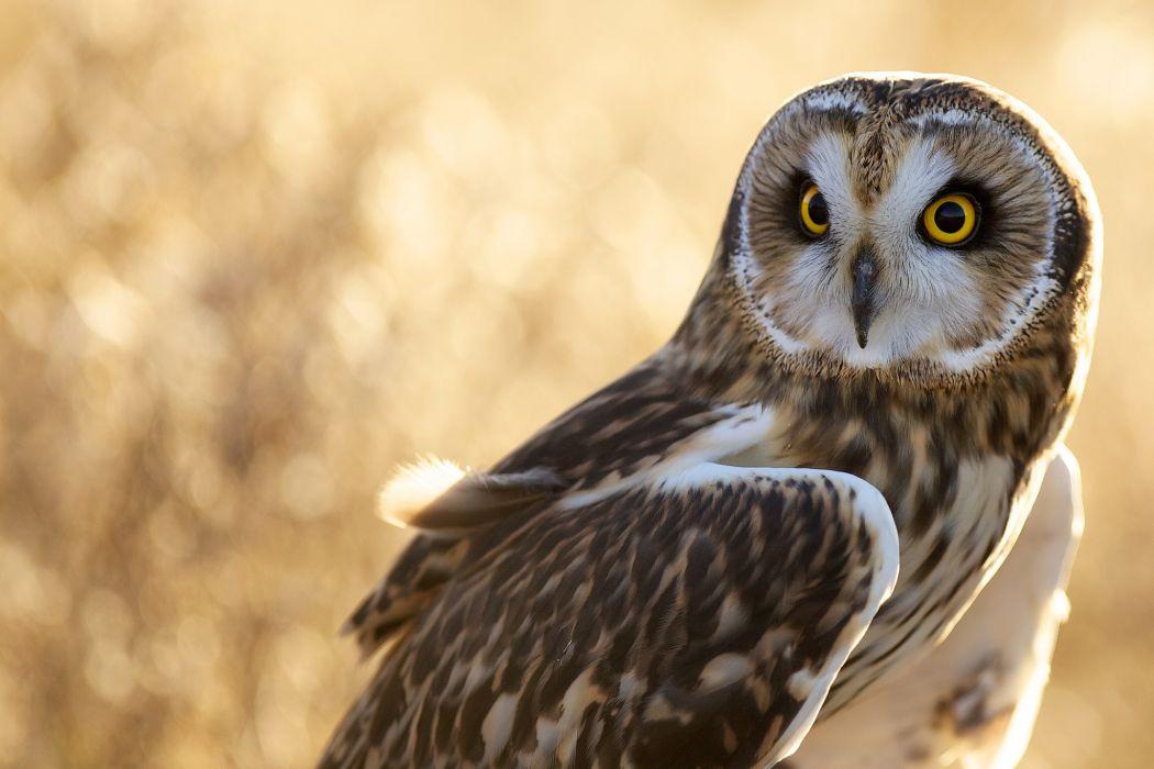 owl bird feathers wallpaper