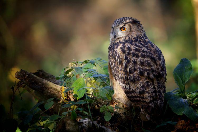 owl bird logs leaves wallpaper