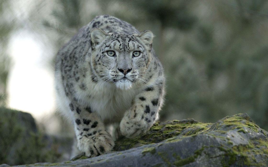 snow leopard predator cat wallpaper