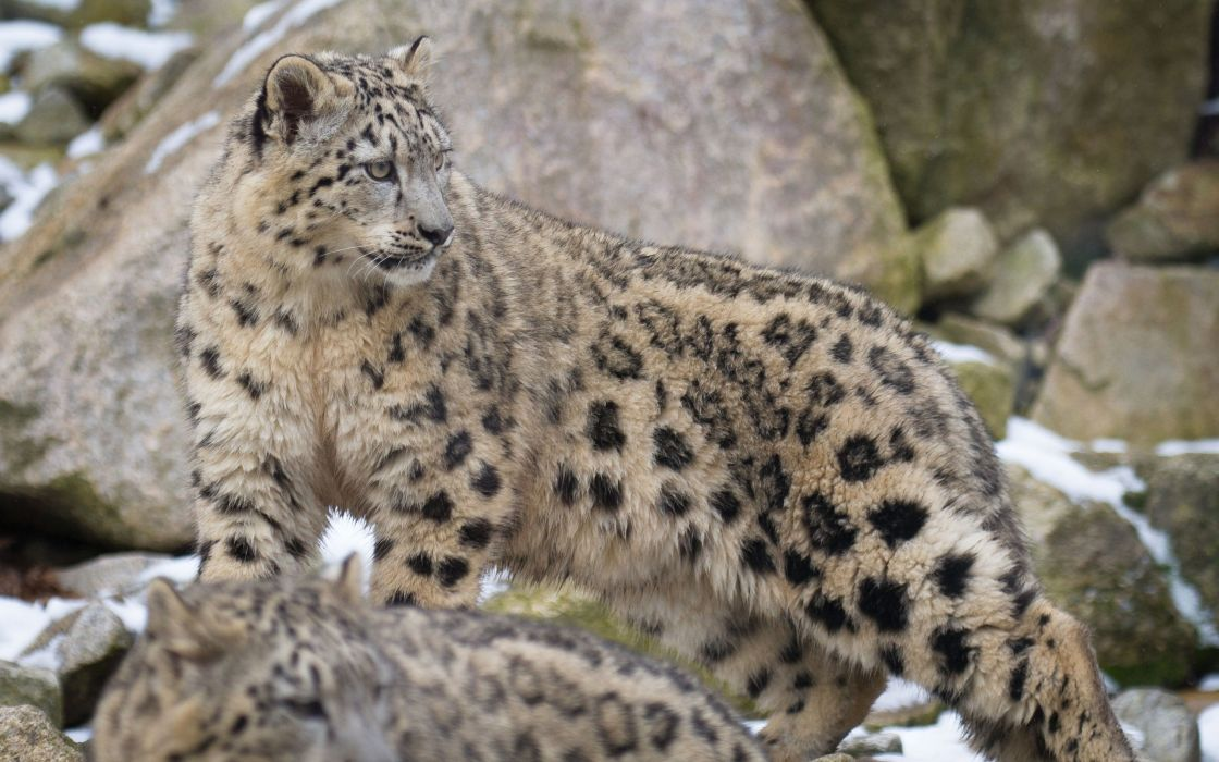 snow leopard wild cat wallpaper