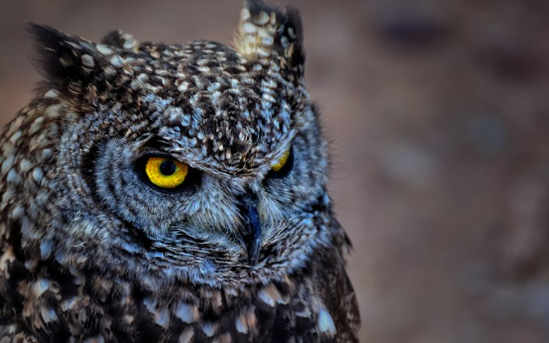 spotted owl wallpaper